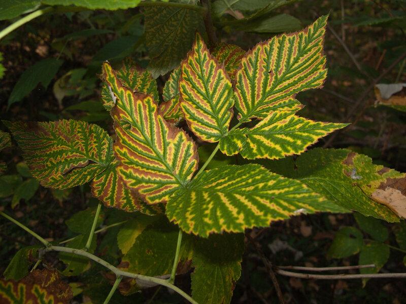 Малиновый лист
