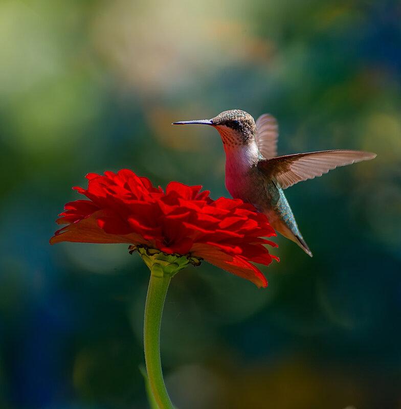 Колибри и цинния