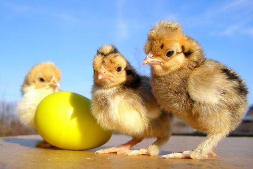 Курица или Яйцо?