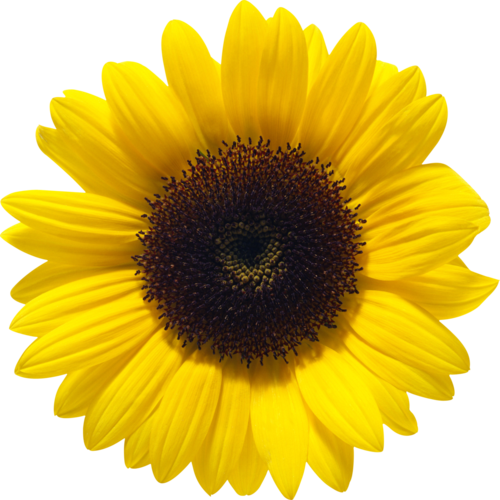 TOUCHING HEARTS: SUNFLOWER - PNG / TUBE