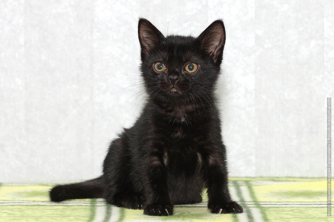 питомник бомбейских котят