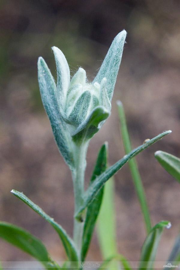 Я люблю все цветы, выпуск 124 | Эдельвейс - символ мужества и отваги, цветок любви и верности.