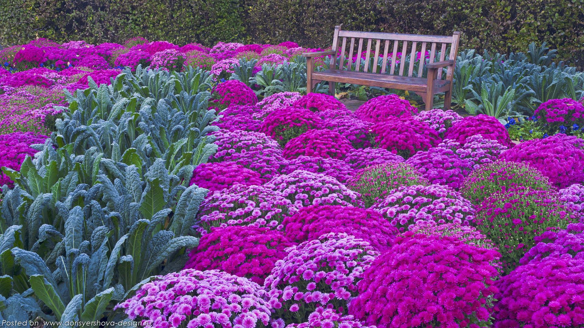 хризантемы, сад, скамейка, розовый, лиловый