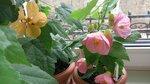 Абутилон Розовый серии Abutilon Bella