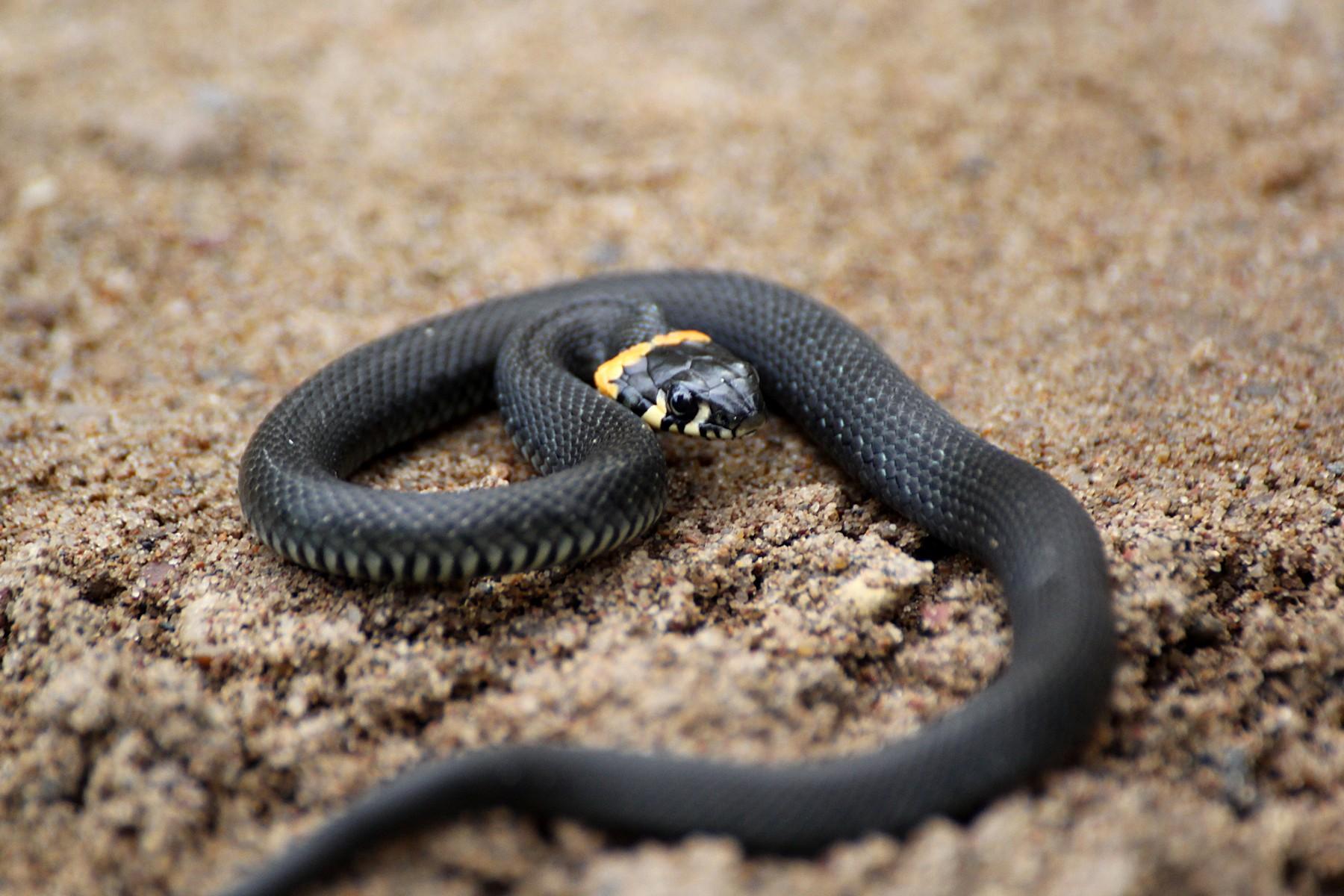 как выглядит уж фото змея