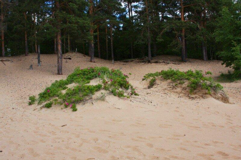 Шиповник на песке