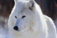 """Предпросмотр схемы вышивки  """"белый волк """" ."""