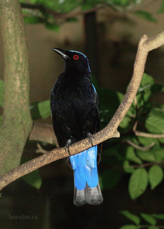 Голубая ирена, самец (Irena puella)