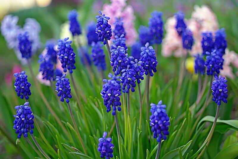 Луковичные цветы синего цвета
