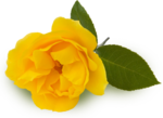 YELLOW ROSE 1.png
