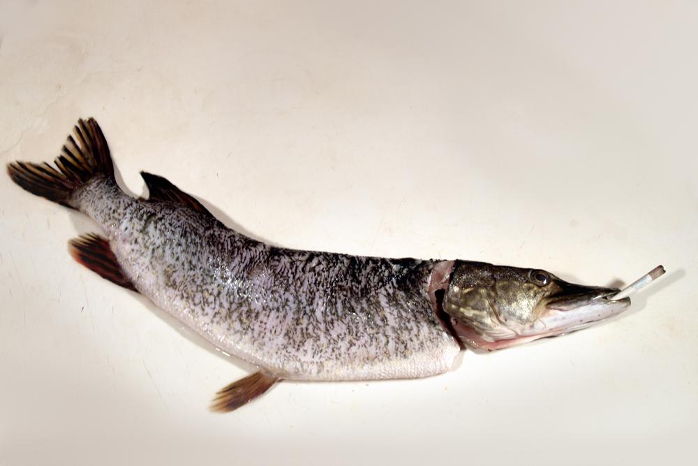 Рыба пила! Рыба курила!