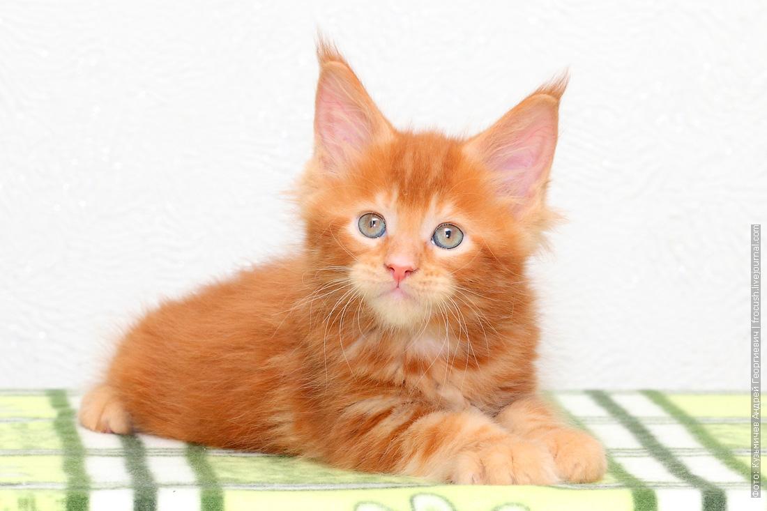 купить в Москве красный котенок Мейн-кун
