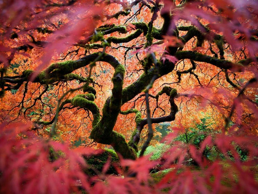 Японский клен, Орегон
