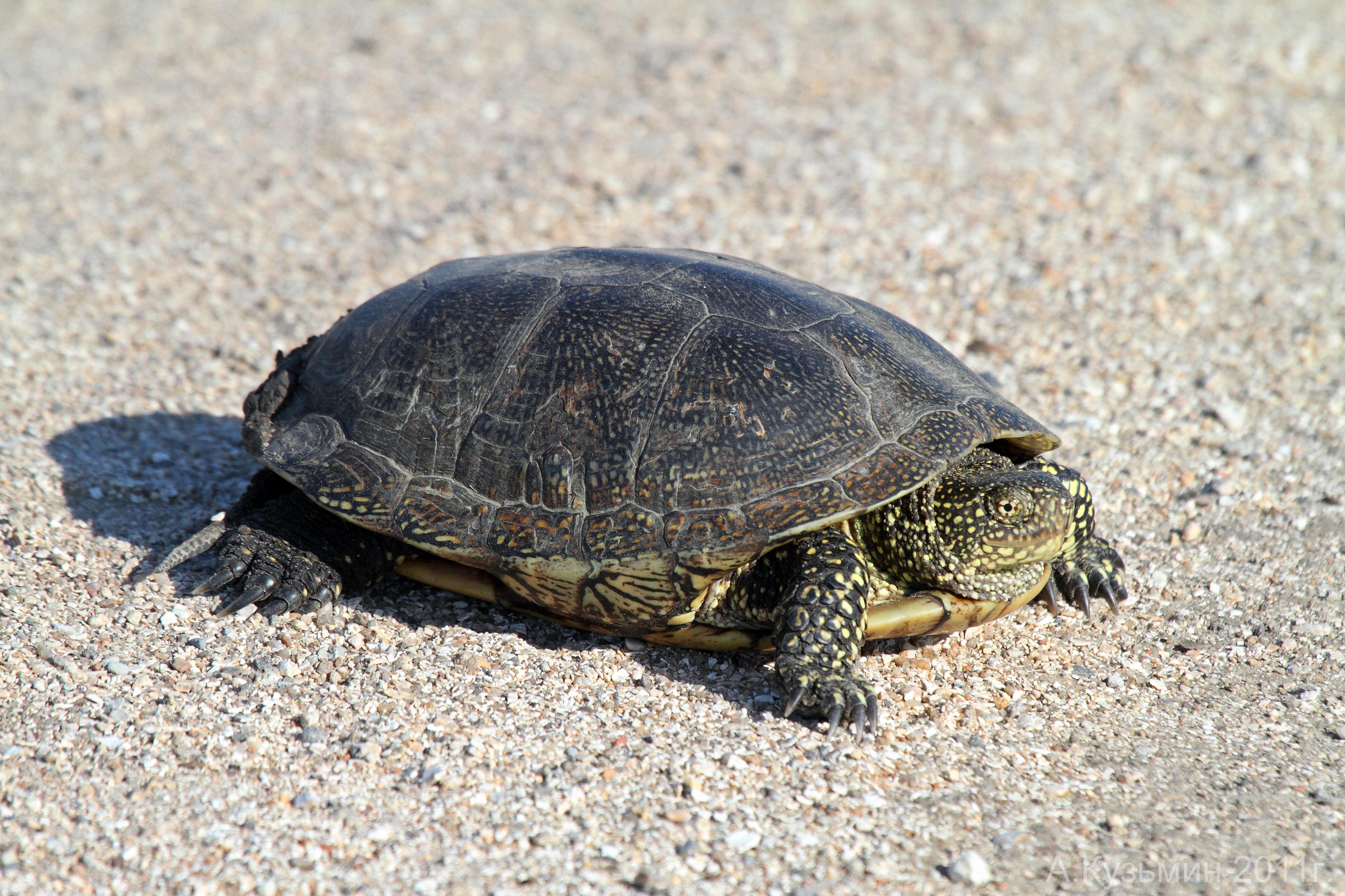 Болотная европейская черепаха (Emys orbicularis)