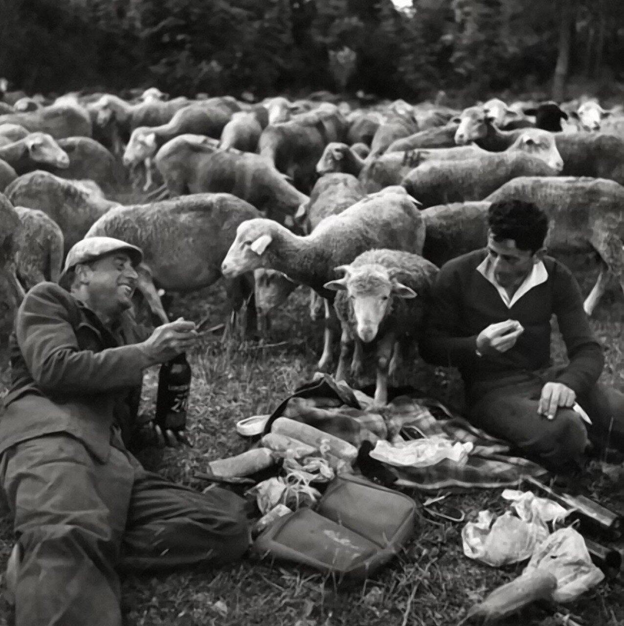 1958. Альпы. Перегон скота.