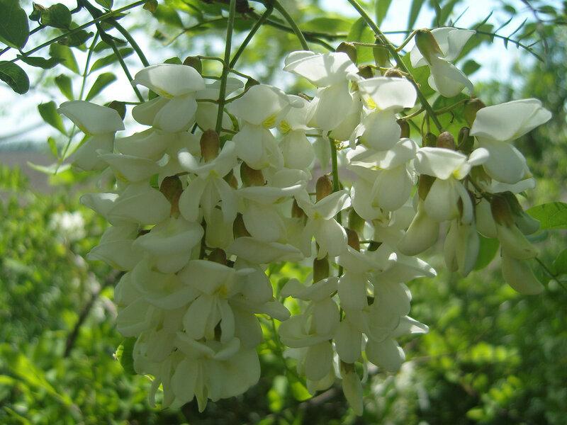 """цветы белой """"акации"""""""