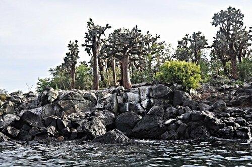 Галапагосские кактусы-опунции.