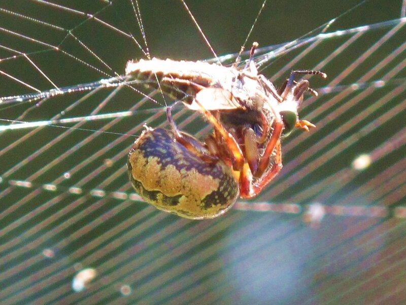 паук поймал слепня