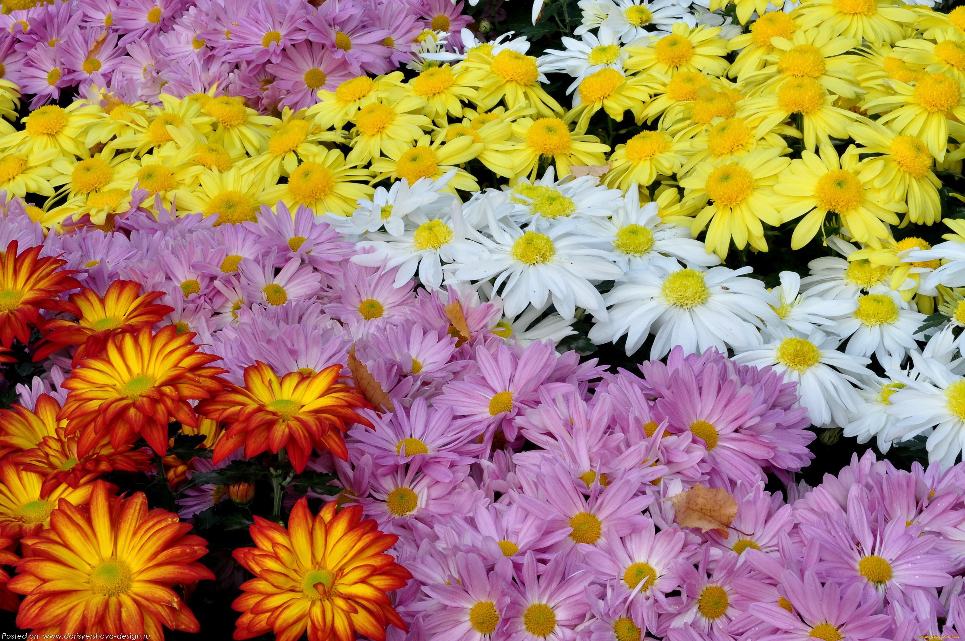 хризантемы, желтый, розовый, оранжевый, белый, обои