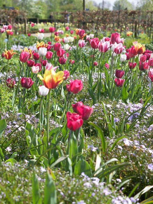 Посадка луковичных цветов осенью