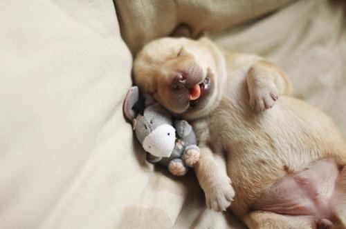 собака-спяка