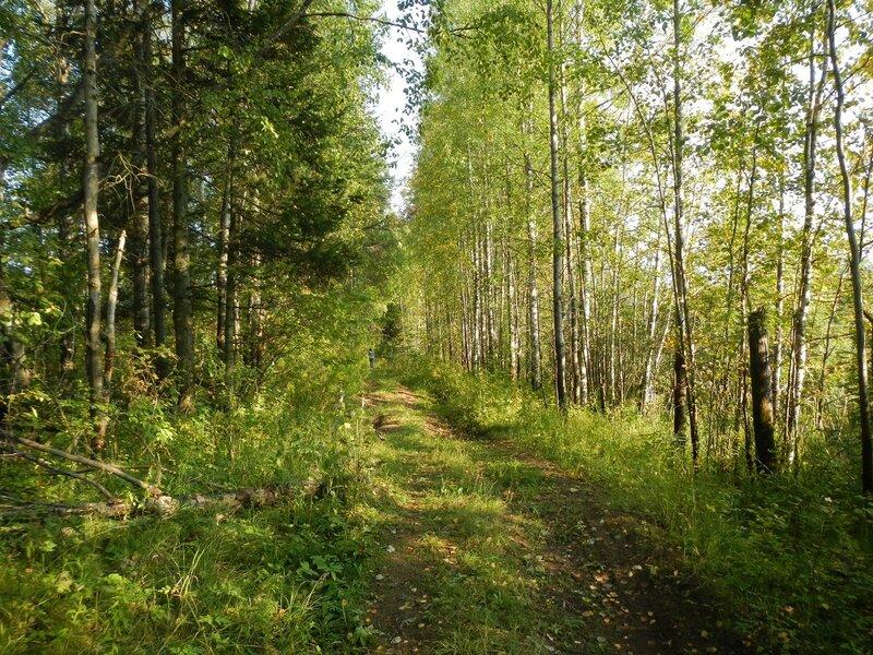 дорога вдоль озера в берёзовой роще