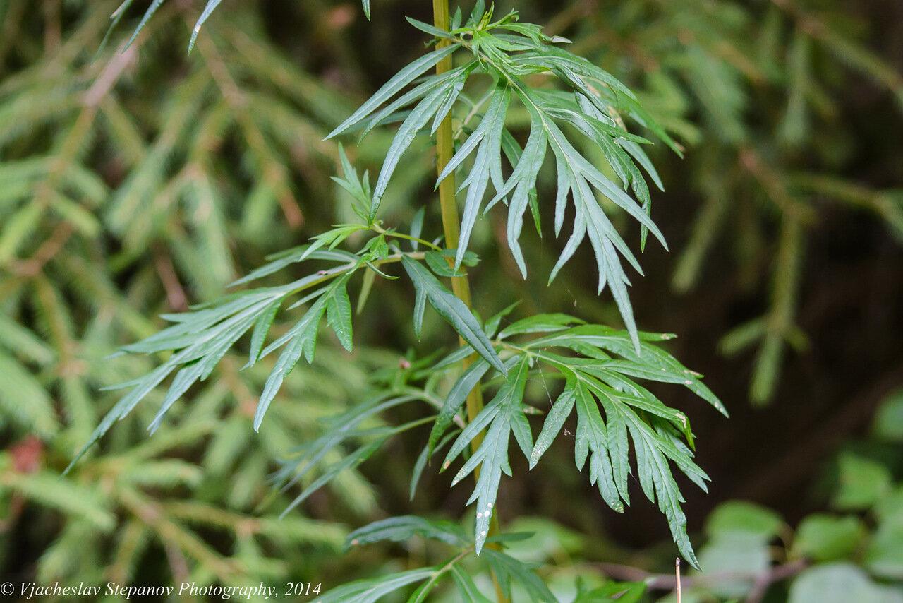 Полынь обыкновенная (Artemisia vulgaris). Автор фото:Вячеслав Степанов