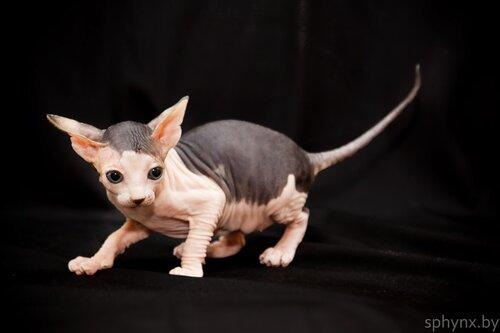Котенок канадского сфинка — Крысюлька.