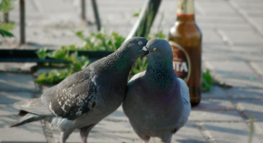 фото голуби целуются