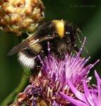 Перепончатокрылые (Hymenoptera)