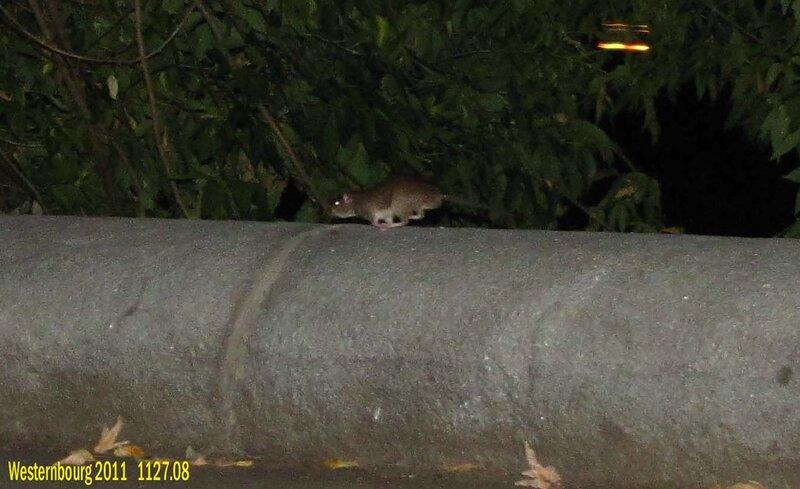 1127.08 Крыса на набережной