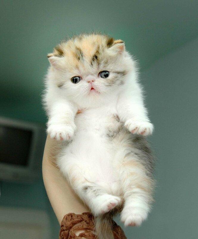 Британская кошкаФотографии породы кошек Британская кошка