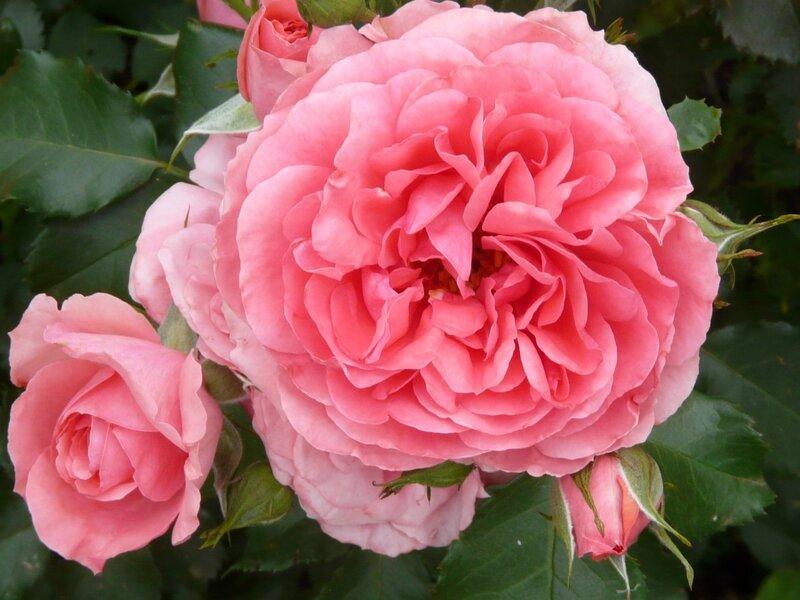 Королевы розы и их имена