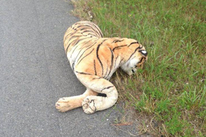 Американка вызвала полицию из-за того что испугалась игрушечного тигра