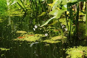 Стрелолист обыкновенный (Sagittaria sagittifolia)Тэг на ЯФ:  Флора Тульской области