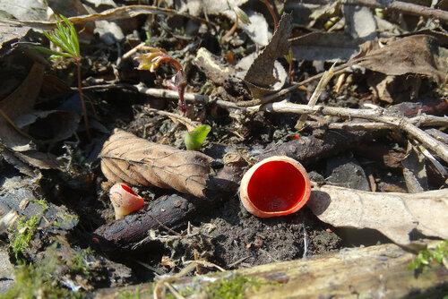 Самый первый весенний гриб обычно этот. Автор фото: Привалова Марина