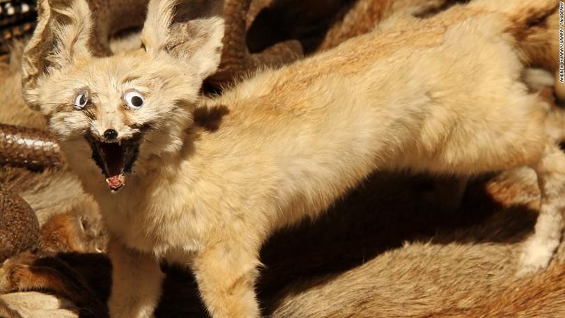 чучело лисы в музее