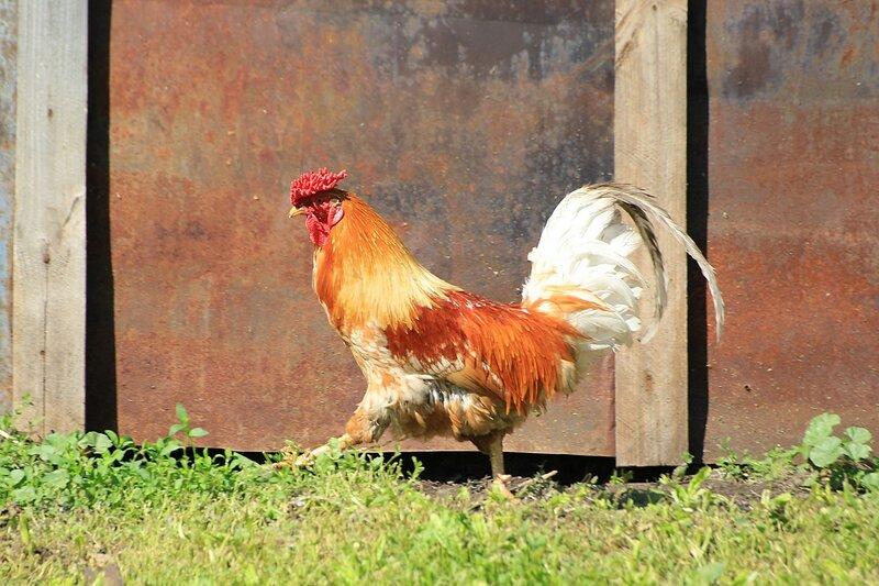 Рыжий петух с красным гребешком гордо вышагивает вдоль стенки курятника