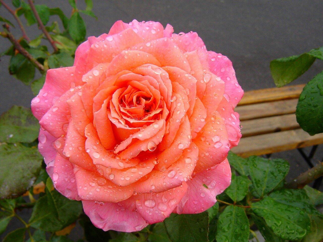 Rose Hybrid Tea Albrecht Dure Rose