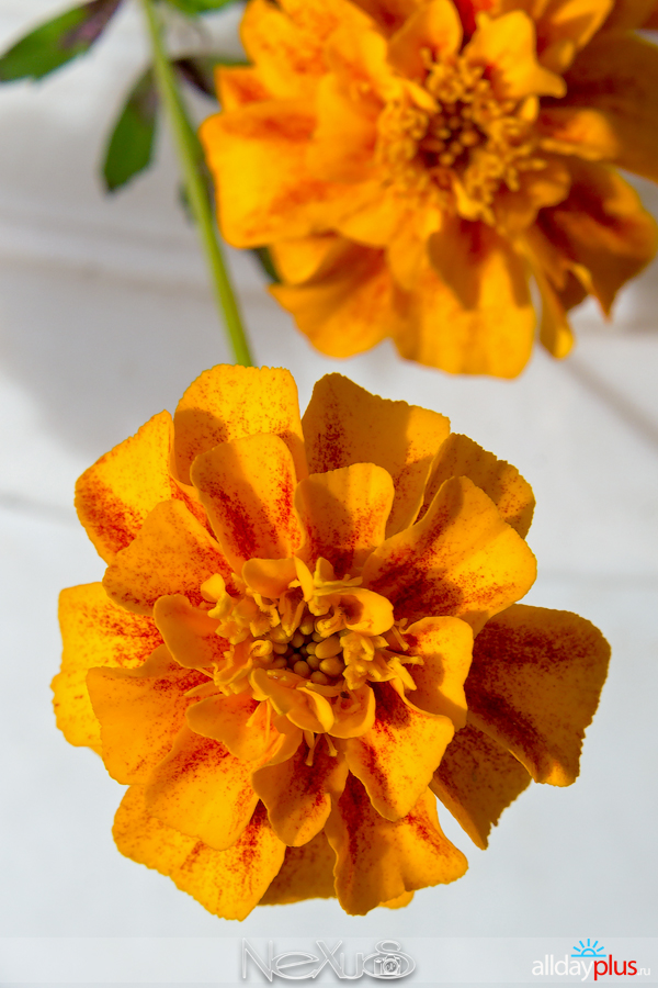 Я люблю все цветы, выпуск 212 | Бархатцы.