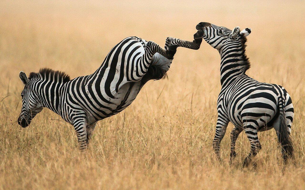 www.GetBg.net_Animals___Wild_artiodactyls_Zebra_kicks_081575_.jpg