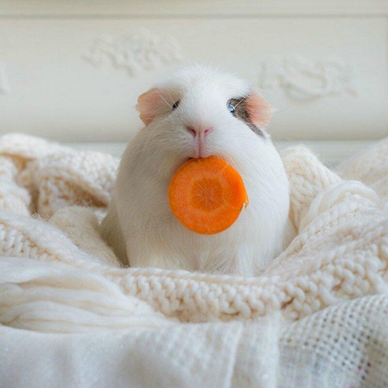 морская-свинка-живность-фото-наряды-1376652.jpeg
