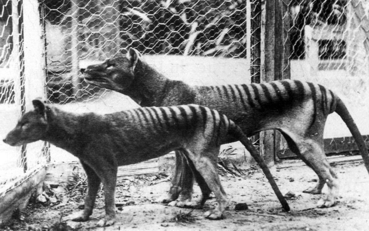 1925 год. Тасманский охотник с убитым тилацином.