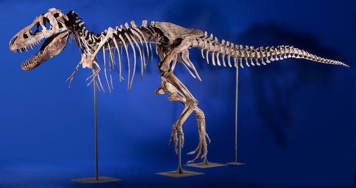 Кости тираннозавра Тираннозавр — двуногий хищник с массивным черепом, который уравновешивался тяжелы