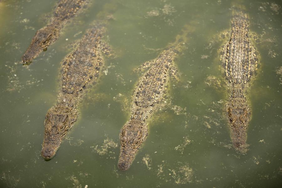 Кубинские крокодилы