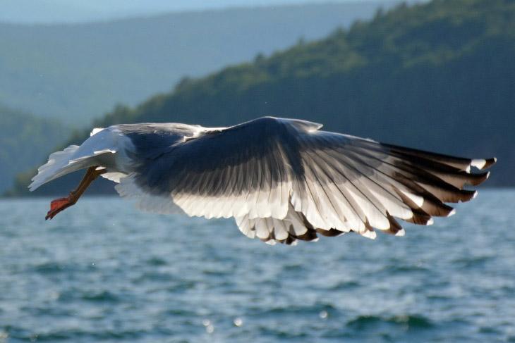 Чайки Байкала (22 фото)