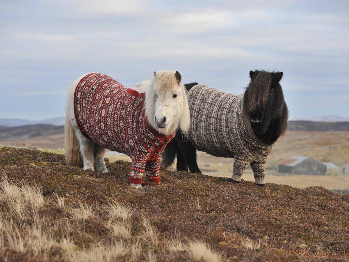 14. Шетландские пони в свитерах стали визитной карточкой Шотландии.