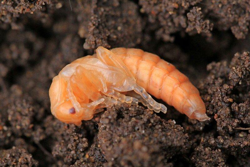 Куколка жука-мягкотелки (Cantharidae) бледно-розового цвета с прозрачными лапками на фоне земли. Вероятно, мягкотелка бурая (лат. Cantharis fusca)