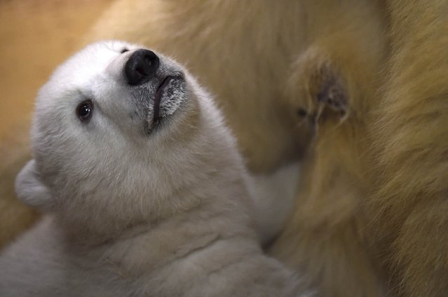A polar bear cub is fed by her mother Valeska, in an enclosure at Bremerhaven's (Bremen's)