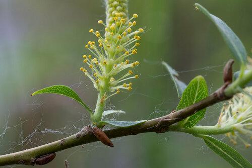 Ива трёхтычинковая (Salix triandra) Автор: Владимир Брюхов